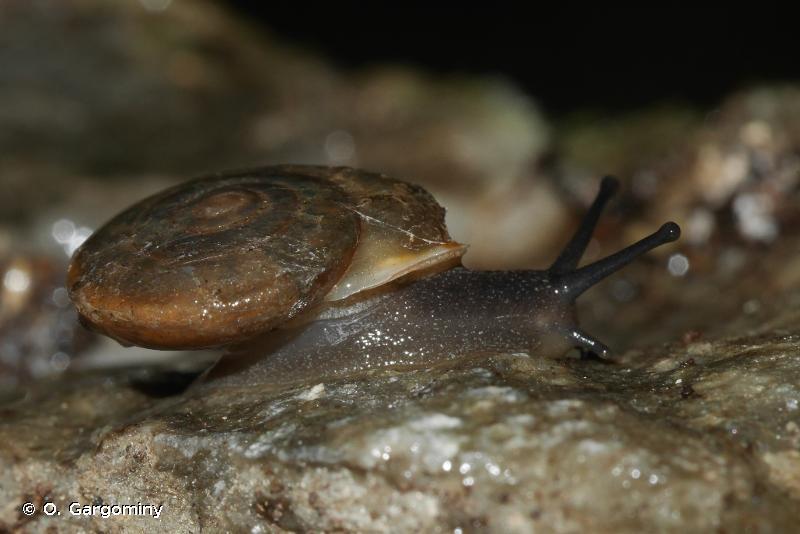 Corneola acrotricha