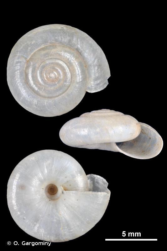 Oxychilus cellarius