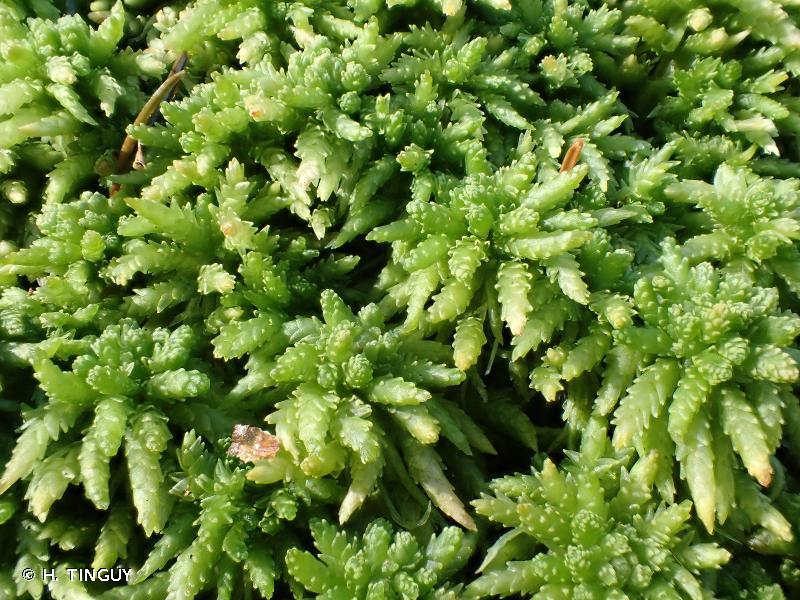 Sphagnum palustre