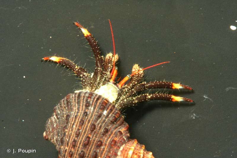 Clibanarius englaucus