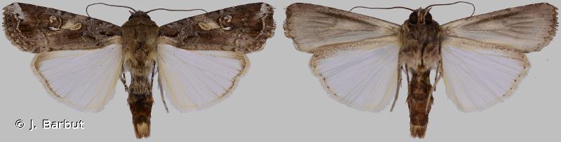 Spodoptera frugiperda