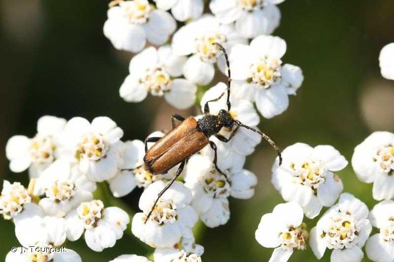 Stictoleptura maculicornis