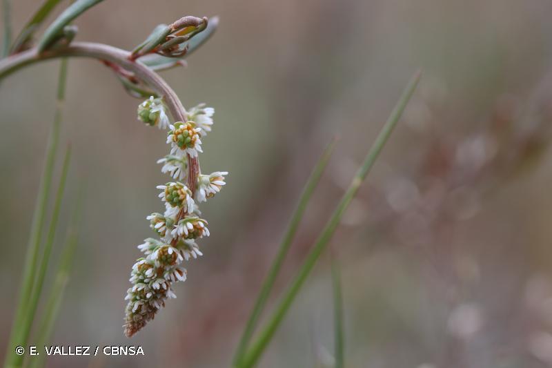 Sesamoides purpurascens