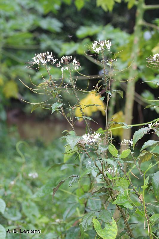 Tarenaya latifolia