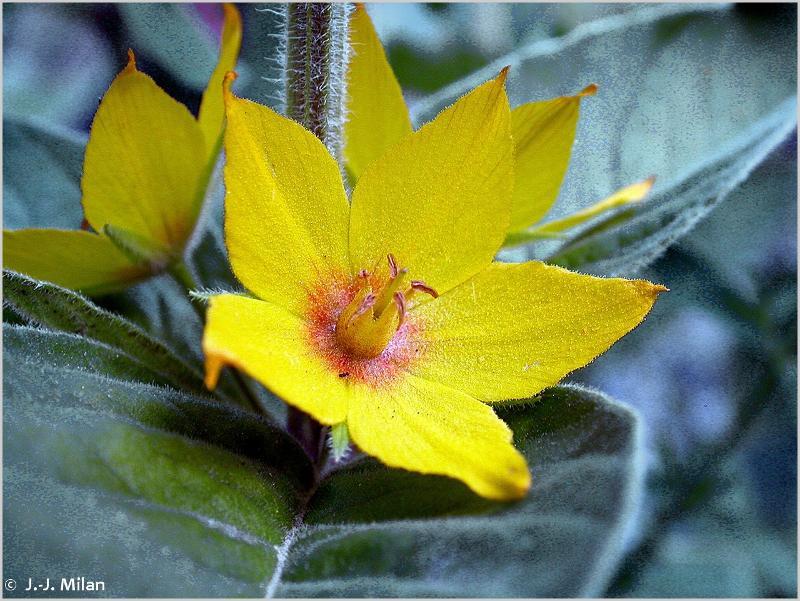 Lysimachia punctata
