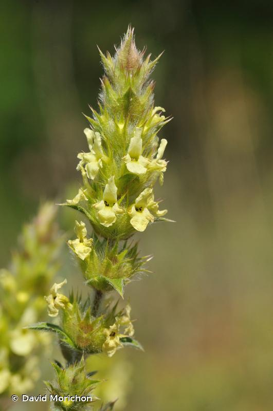 Sideritis hyssopifolia subsp. gouanii