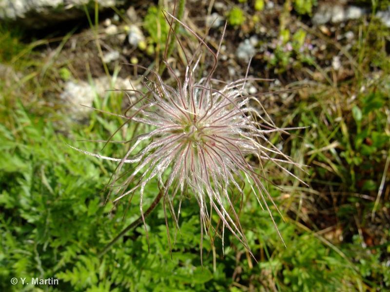 Anemone alpina subsp. apiifolia