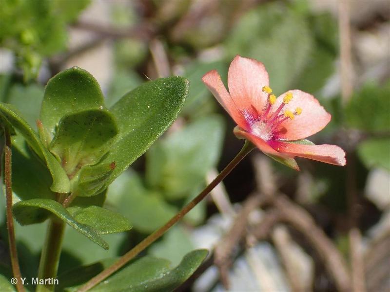 Lysimachia arvensis subsp. arvensis