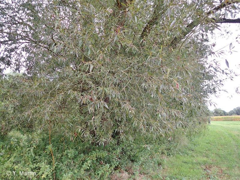 Salix x rubens
