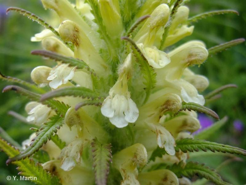 Pedicularis foliosa