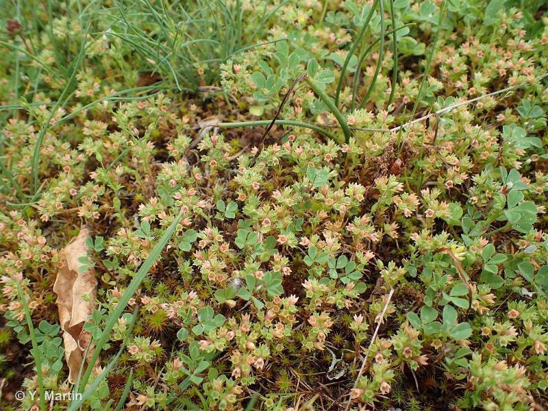 Scleranthus annuus subsp. annuus