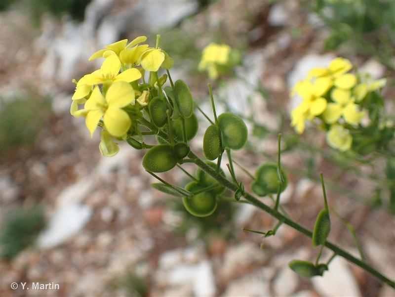 Biscutella cichoriifolia