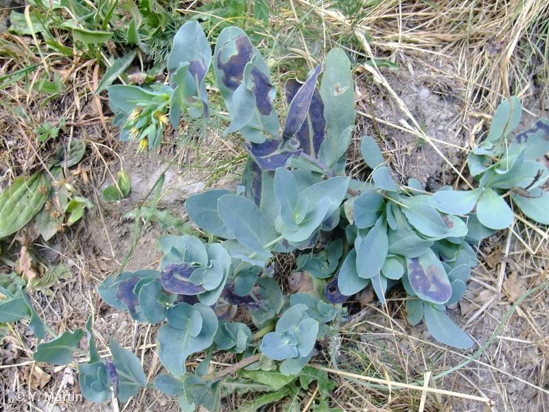 Cerinthe minor subsp. auriculata