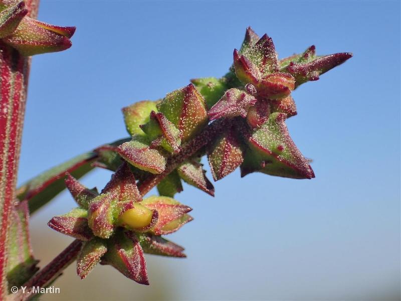 Chenopodium strictum