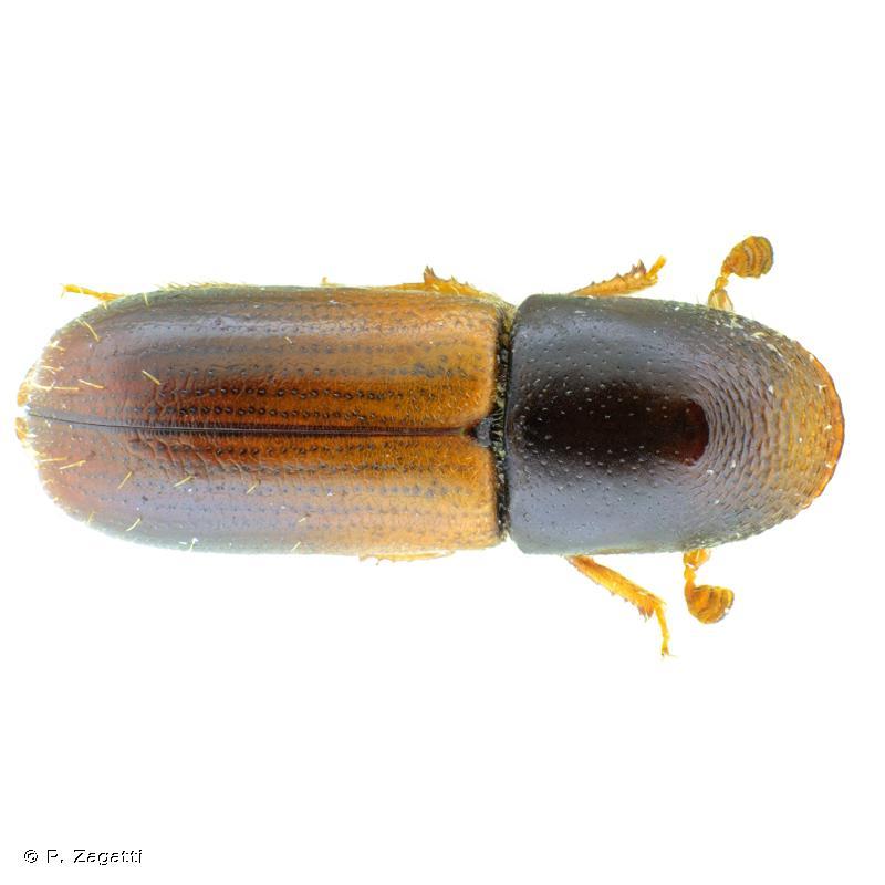 Gnathotrichus materiarius