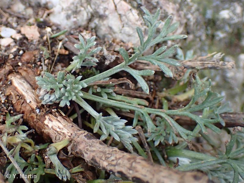Artemisia campestris subsp. campestris
