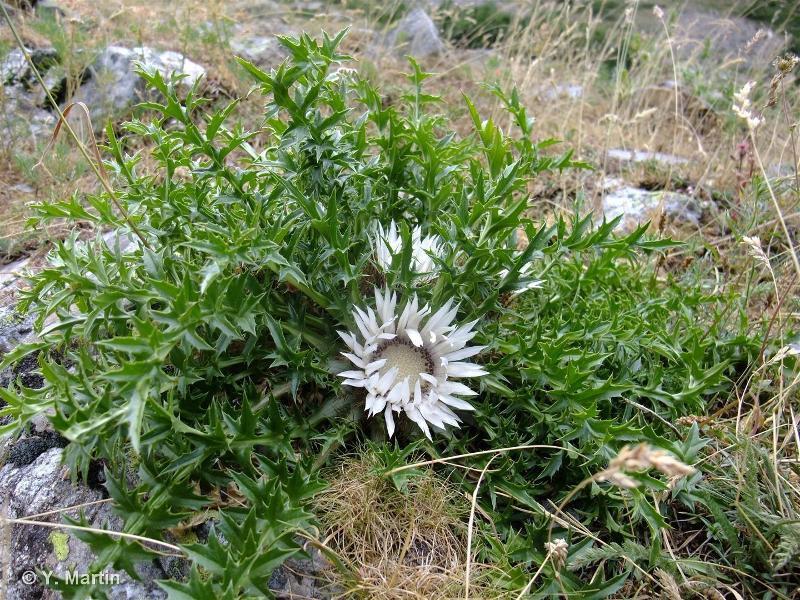 Carlina acaulis subsp. caulescens