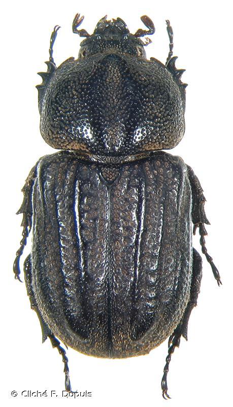 Amblyoproctus rugosus
