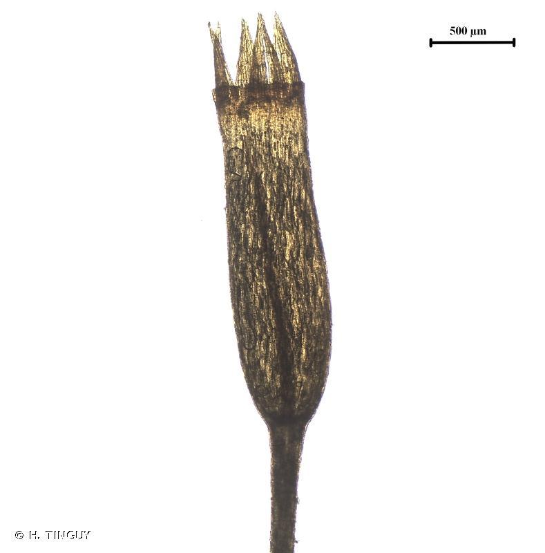Tetraphis pellucida
