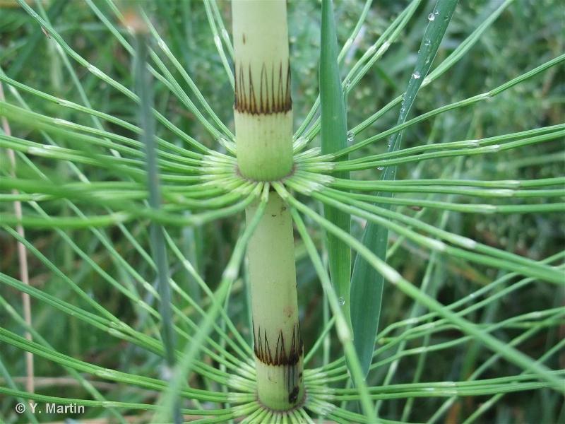 Equisetum telmateia