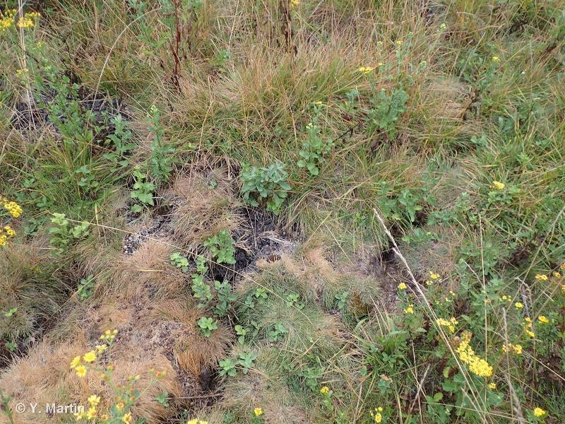 15.41 - Prés salés continentaux avec Puccinellia distans - CORINE biotopes