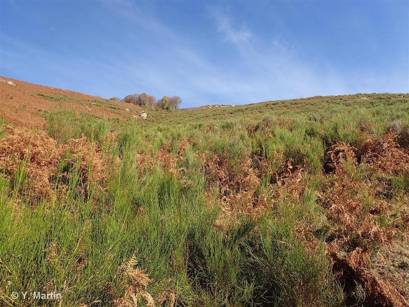 31.8414 - Landes à Cytisus scoparius des Pyrénées - CORINE biotopes