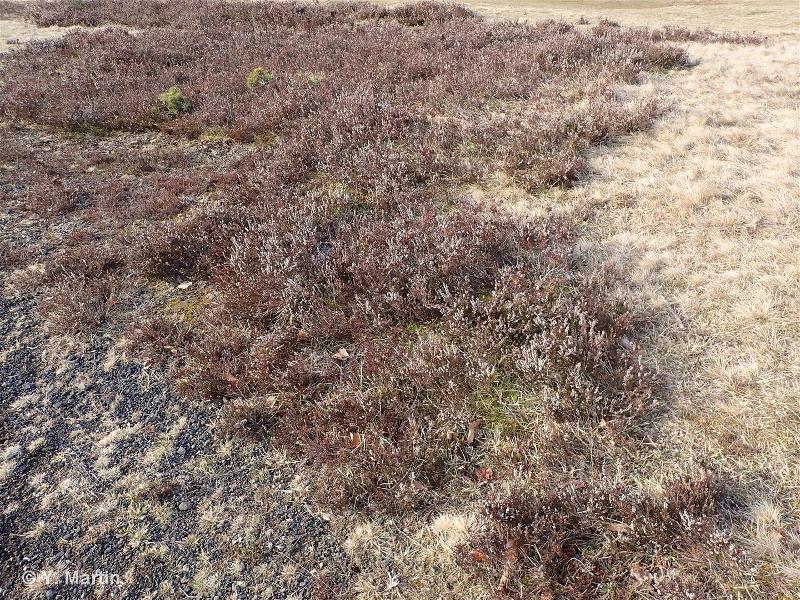 31.226 - Landes montagnardes à Calluna et Genista - CORINE biotopes
