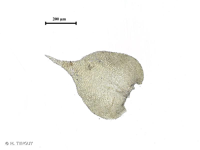 Heterocladiella dimorpha