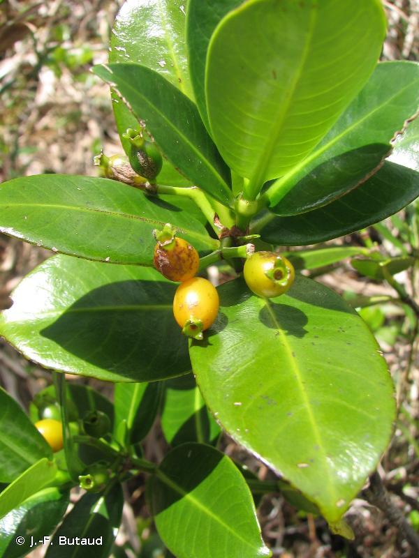 Psychotria temehaniensis