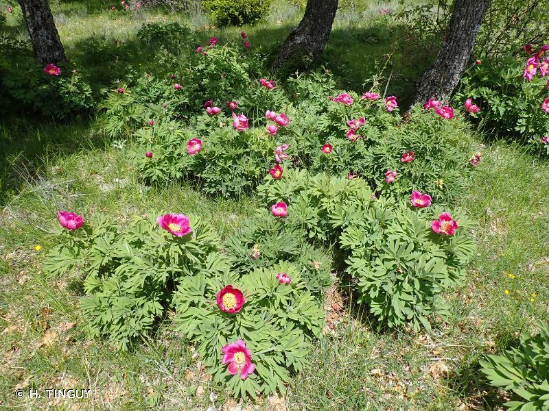 Paeonia officinalis subsp. huthii