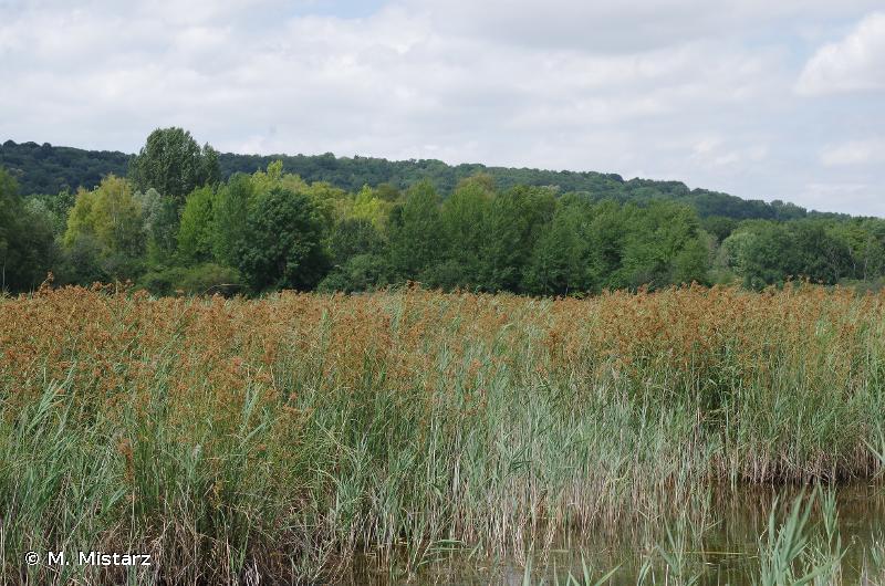 7210 - Marais calcaires à <em>Cladium mariscus</em> et espèces du <em>Caricion davallianae</em> - Cahiers d'habitats