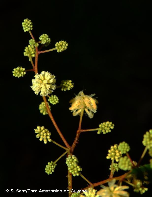 Senegalia tenuifolia