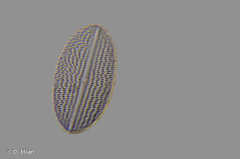 Cocconeis placentula var. euglypta