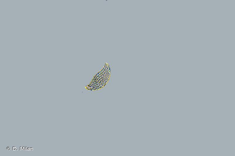 Cocconeis pseudolineata