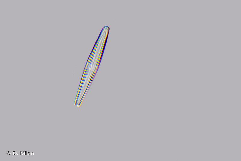 Gomphonema intricatum