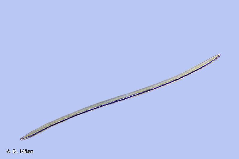 Nitzschia sigmoidea