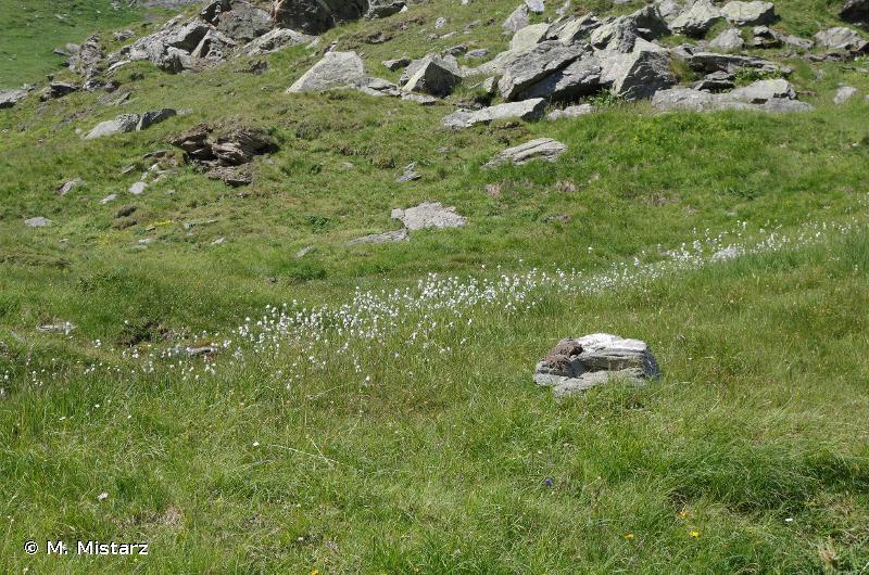 7230 - Tourbières basses alcalines - Habitats d'intérêt communautaire