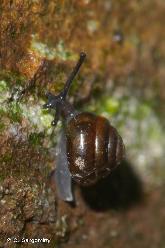 Euconulus fulvus