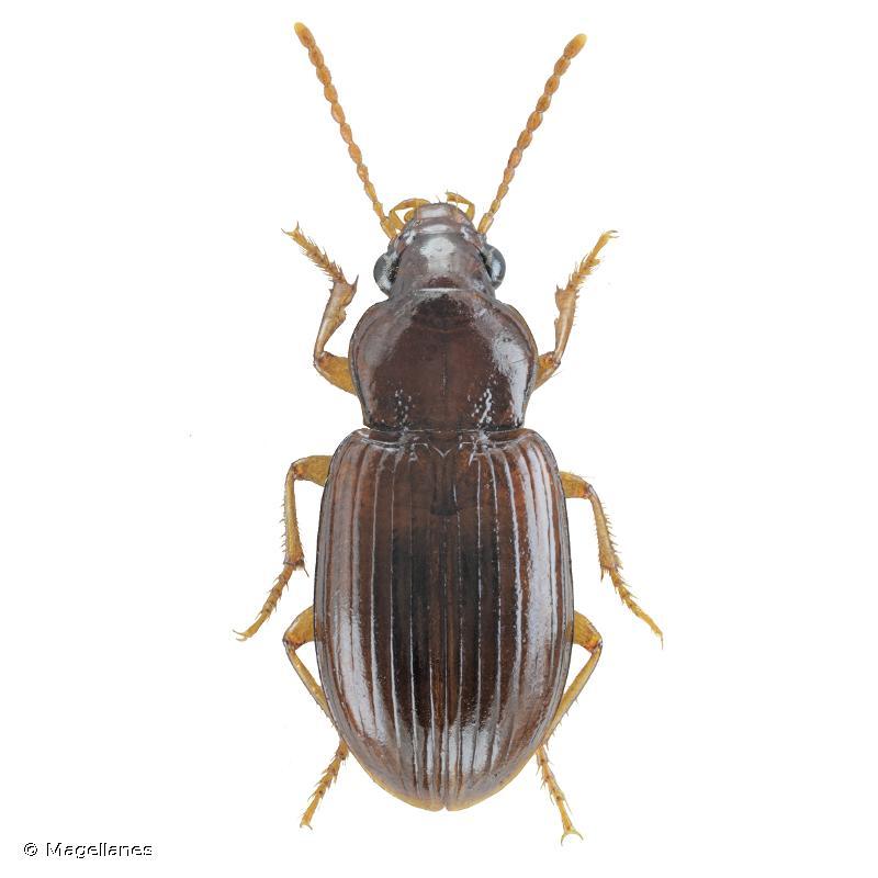 Bradycellus distinctus