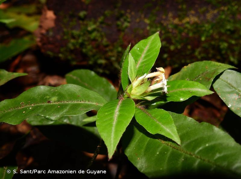 Palicourea trichophora
