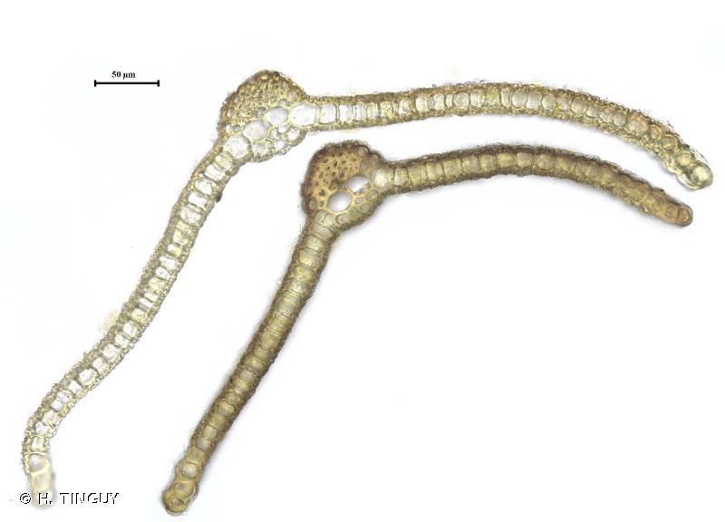 Tortula subulata