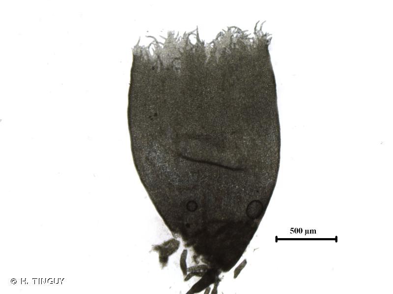 Scapania aequiloba