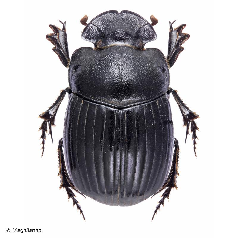Copris umbilicatus