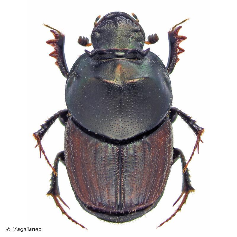 Onthophagus illyricus
