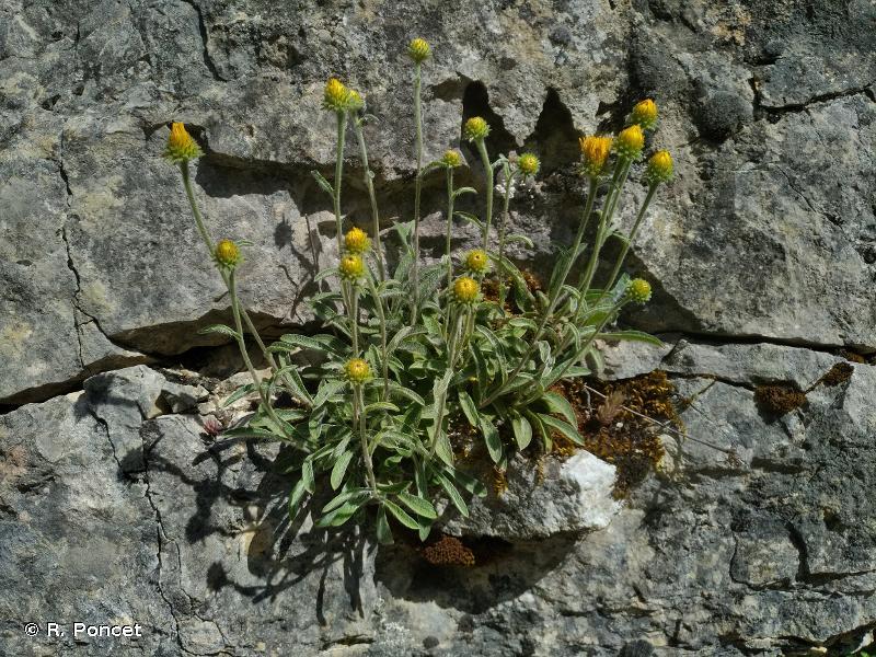 Inula montana
