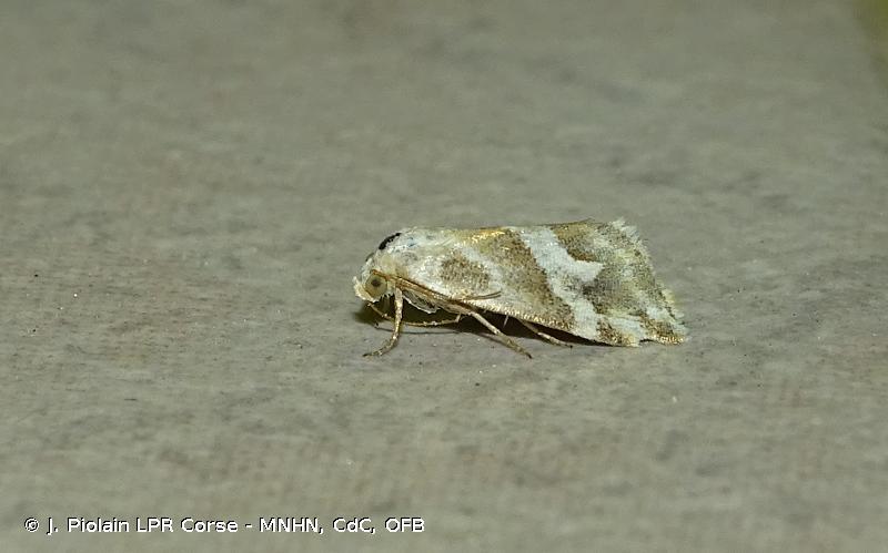 Eublemma elychrysi