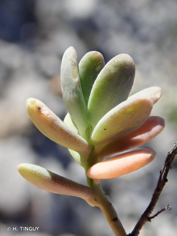 Aethionema thomasianum