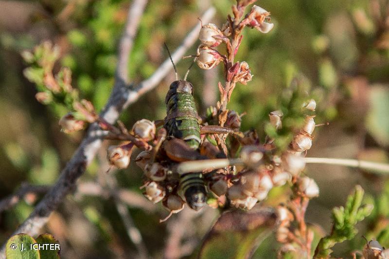 Cophopodisma pyrenaea