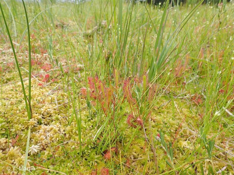 Drosera longifolia