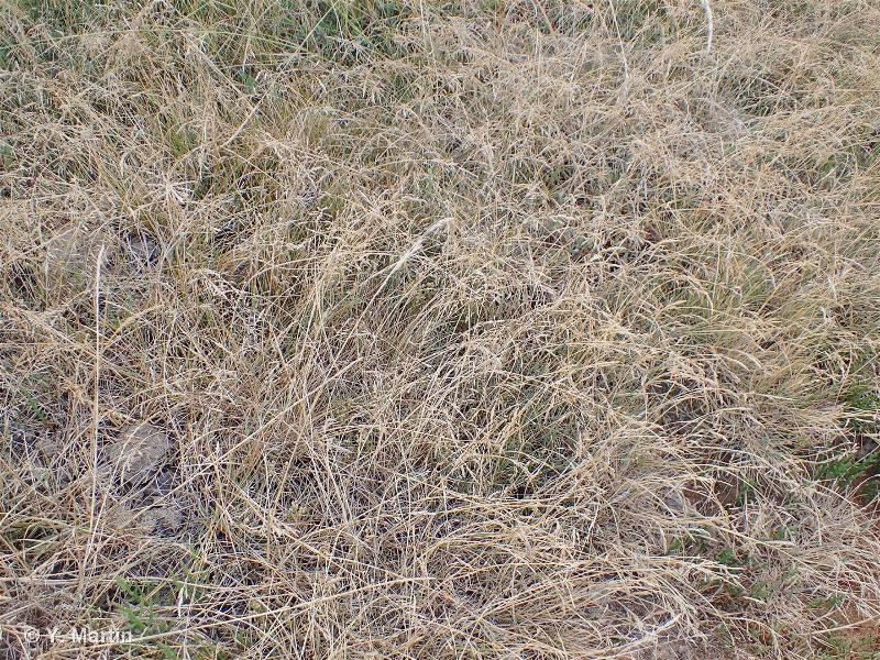 Puccinellia distans subsp. fontana